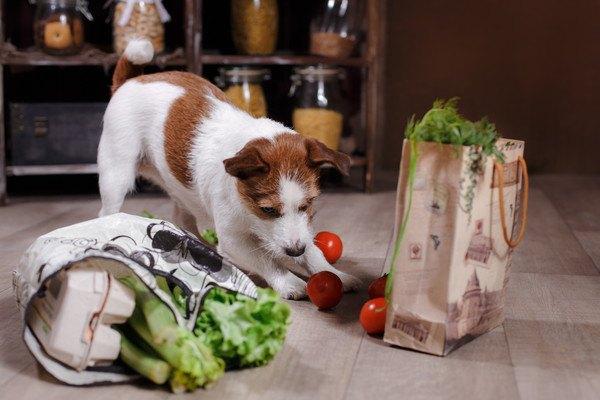 床のトマトを触る犬