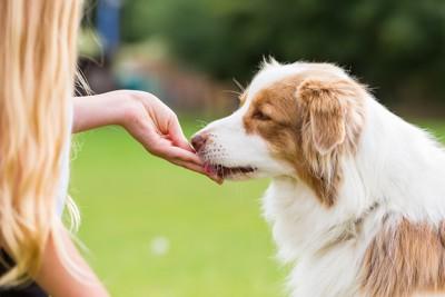 飼い主の手から食べ物をもらう犬
