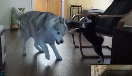 ハスキーにパンチしようとする柴犬