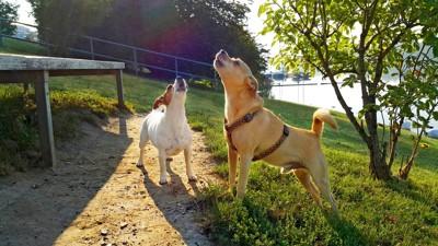 遠吠えをする2頭の犬