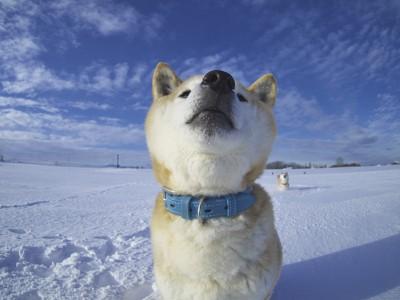 冬空と柴犬