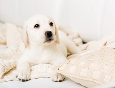 白いブランケットの上のラブラドールの子犬