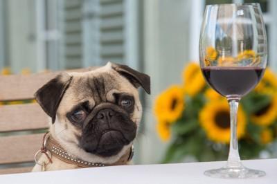 パグと赤ワイン