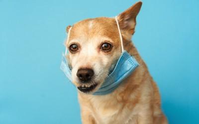 マスクを引っ掛けた犬