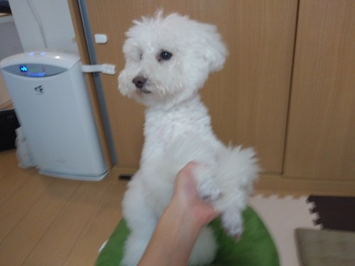 白い犬 緑のクッションの上 後ろ足で立っている 前足持たれている