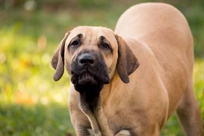 ブラジリアンガードドッグの子犬