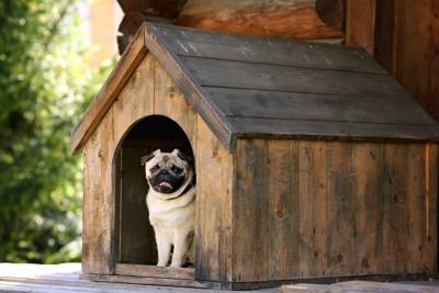 木製のハウスの中のパグ