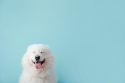 水色の背景と笑顔の白い犬