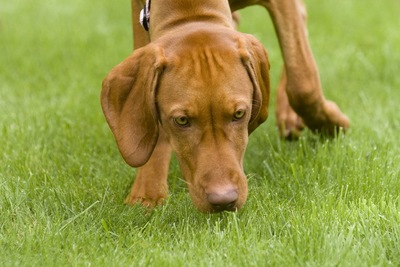 芝生のにおい嗅ぎをする茶色の犬