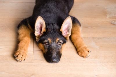 床に伏せてこちらを見つめる犬