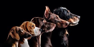 同じ方向を向く五匹の犬の横顔