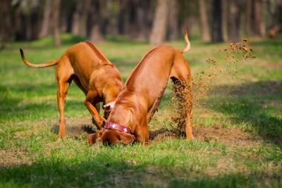 穴を掘る二匹の茶色い犬