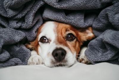 毛布に隠れながら見つめる犬