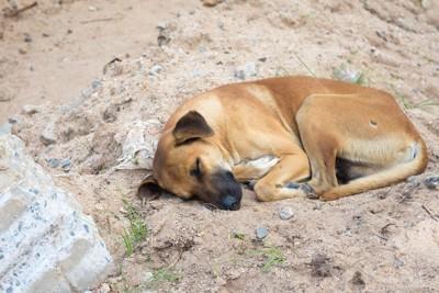 岩の上で眠る茶色い犬