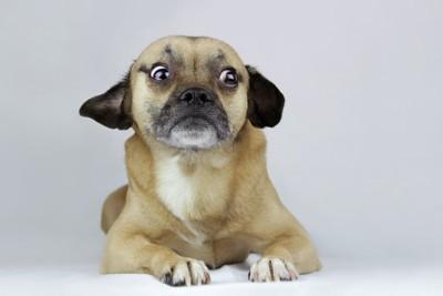 驚き緊張した犬の様子で伏せている犬