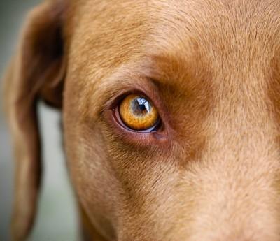 犬の右目のアップ