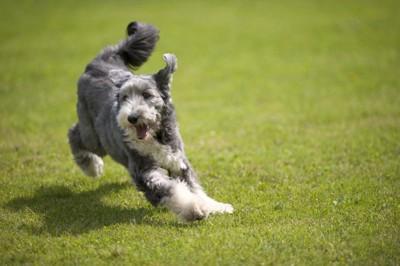 活発に動いている灰色の犬