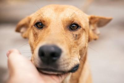 茶色い犬の顔