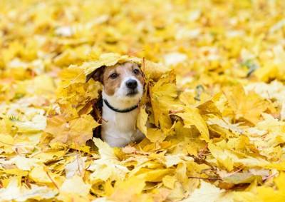 落ち葉の間から顔を出す犬