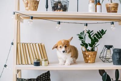 棚の上に乗っている子犬