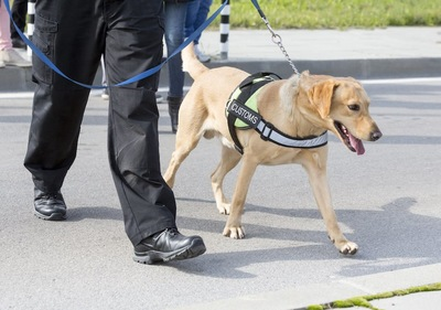 探知犬の仕事中のラブラドールレトリバー