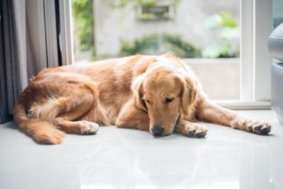 寂しそうに窓辺で日なたぼっこをしている犬
