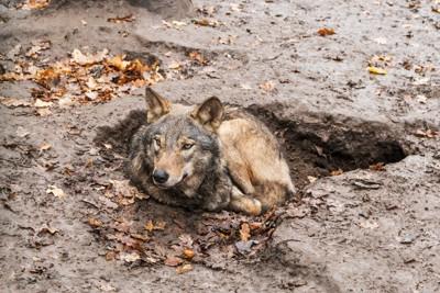 泥に隠れるオオカミ