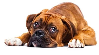 退屈そうな犬