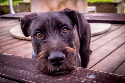見つめる黒い犬