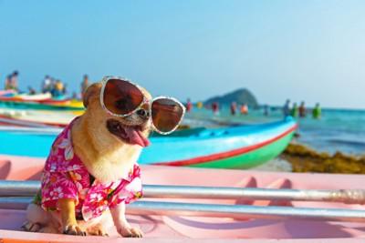 夏にサングラスをかけるチワワ