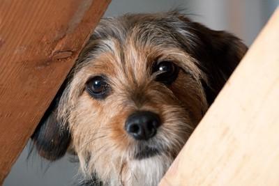 隙間から覗く犬
