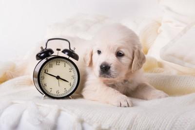 子犬とアラーム時計