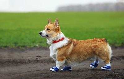 靴を履くコーギー