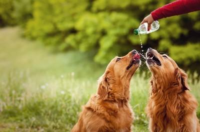 水を飲む2頭のゴールデンレトリーバー