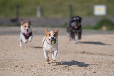 ボールを咥えて走る犬、後ろにも走る犬二頭