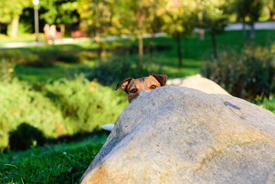 岩の陰に隠れてこちらを見る犬
