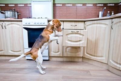 立ち上がって台所を漁る犬