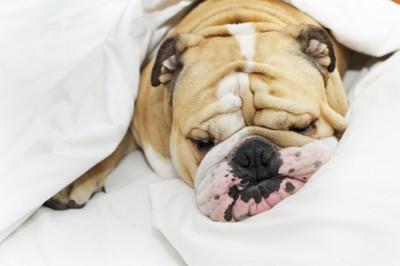 布団で眠るブルドッグ