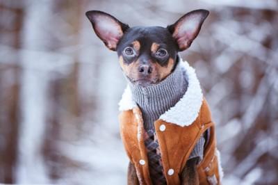 屋外で防寒着を着ている犬