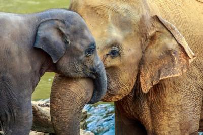 母ゾウに甘える子ゾウ