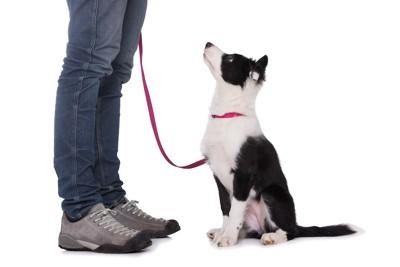 飼い主を見上げるボーダーコリーの子犬