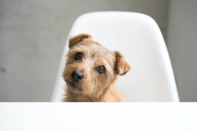 椅子に座って首をかしげている犬