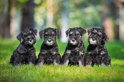 ミニチュアシュナウザーの子犬達