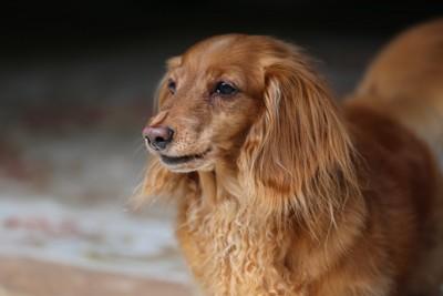 老犬のミニチュアダックス