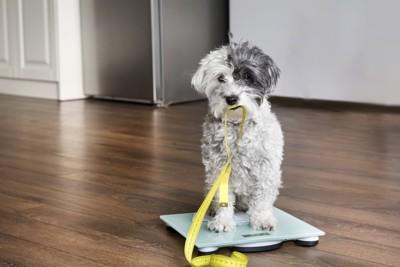 メジャーを咥えて体重計に乗る犬