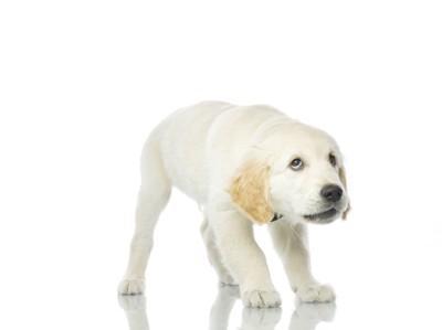 驚いて動けない白い子犬