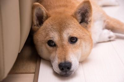 部屋で寝そべる柴犬