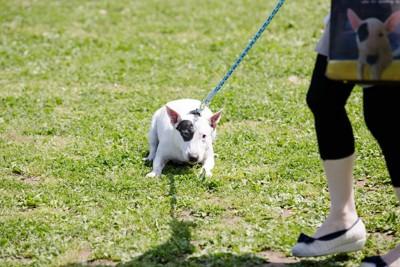 芝生に伏せて歩かない犬