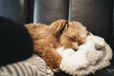 毛布に顔を埋めて寝る犬