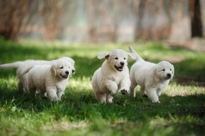走っている3匹のゴールデンレトリバーの子犬